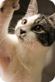 Domestic Shorthair Kitten for adoption in Columbus, Georgia - Ty 7723