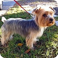 Adopt A Pet :: Tinkerbelle - Clearwater, FL
