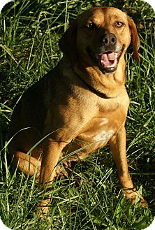 Redbone Coonhound Mix Dog for adoption in Spring Valley, New York - Tiga *adopt fee $350