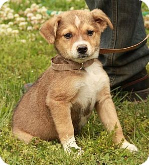 Collie/Beagle Mix Puppy for adoption in Albany, New York - Tanzy