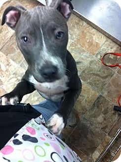 American Pit Bull Terrier Mix Puppy for adoption in Darlington, South Carolina - Zyla