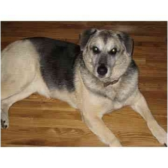 German Shepherd Dog/Labrador Retriever Mix Dog for adoption in Smithtown, New York - LEFT BEHIND:(