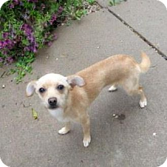 Chihuahua Mix Dog for adoption in Janesville, Wisconsin - Star