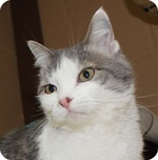 Domestic Shorthair Cat for adoption in Wheaton, Illinois - Tipper