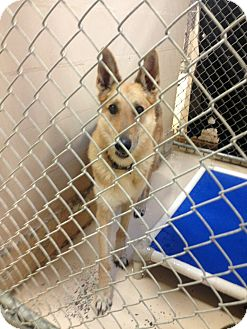German Shepherd Dog Dog for adoption in Roswell, Georgia - Sargent (Guest)