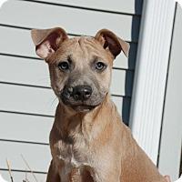 Adopt A Pet :: Squash - Albany, NY