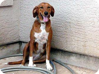 Rhodesian Ridgeback/Beagle Mix Dog for adoption in San Antonio, Texas - Snow White