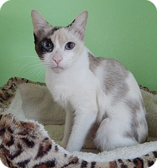 Calico Cat for adoption in Plano, Texas - VENICE - EXOTIC SWEET BEAUTY!