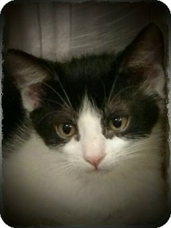 Domestic Shorthair Kitten for adoption in Pueblo West, Colorado - 3