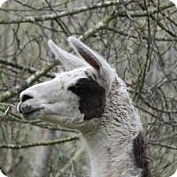 Llama for adoption in Quilcene, Washington - Astra