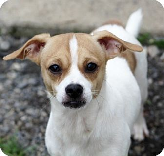 Chihuahua Mix Dog for adoption in Liberty Center, Ohio - Aztec