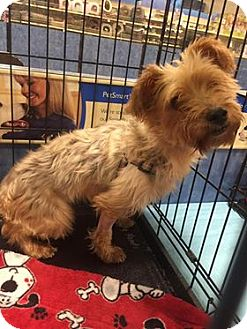 Yorkie, Yorkshire Terrier Mix Dog for adoption in Gainesville, Florida - Keri