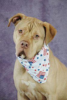 Dogue de Bordeaux Mix Dog for adoption in Allen town, Pennsylvania - Leonidas