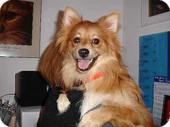 Pomeranian Dog for adoption in Rye, New Hampshire - Junior