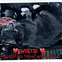 Adopt A Pet :: Sweetie - Great Neck, NY