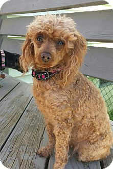 Toy Poodle Dog for adoption in Media, Pennsylvania - Dixie
