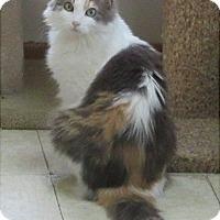 Calico Cat for adoption in Glenwood, Minnesota - Marcy