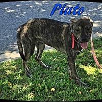 Adopt A Pet :: Pluto - Ahoskie, NC