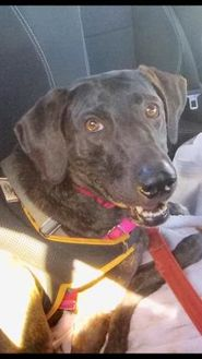 Hound (Unknown Type) Mix Dog for adoption in Lihue, Hawaii - Ariel