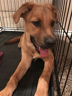 Shepherd (Unknown Type) Mix Puppy for adoption in Fort Collins, Colorado - Marky