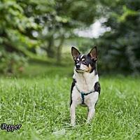 Adopt A Pet :: Pepper - Shamokin, PA