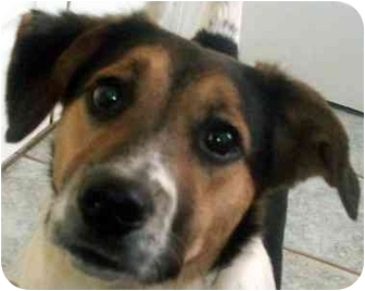Beagle/Beagle Mix Puppy for adoption in Chapel Hill, North Carolina - Twister