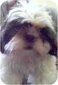 Shih Tzu Puppy for adoption in Pembroke pInes, Florida - Molly