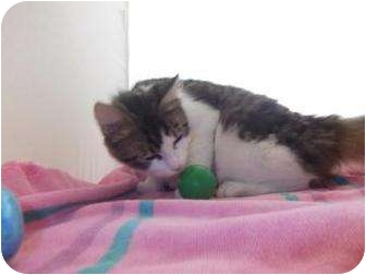 Domestic Mediumhair Cat for adoption in North Charleston, South Carolina - Lola
