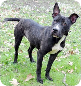 Pit Bull Terrier/Cattle Dog Mix Dog for adoption in Chicago, Illinois - Winnie