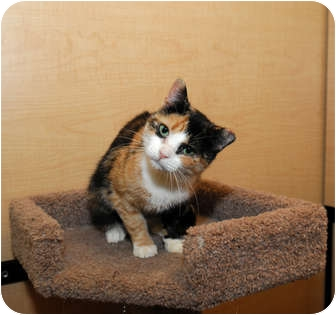 Calico Cat for adoption in Farmingdale, New York - Blair