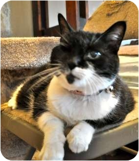 Domestic Shorthair Cat for adoption in Pasadena, California - Frannie