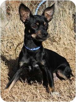 Chihuahua/Dachshund Mix Dog for adoption in Newark, Delaware - Emma