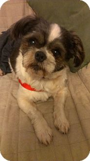 Shih Tzu Dog for adoption in Mount Gretna, Pennsylvania - Bowser