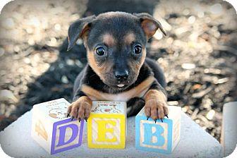 Dachshund Mix Puppy for adoption in Austin, Texas - Deb