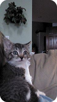 Domestic Shorthair Kitten for adoption in Sterling Hgts, Michigan - Darby