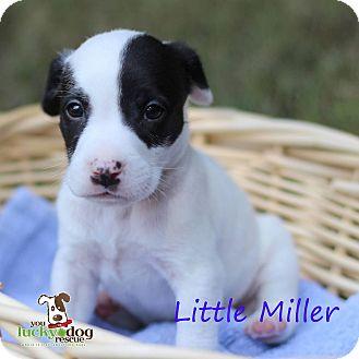 Terrier (Unknown Type, Medium) Mix Puppy for adoption in Alpharetta, Georgia - Little Miller