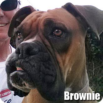 Boxer Dog for adoption in Encino, California - Brownie