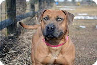 Staffordshire Bull Terrier Mix Dog for adoption in Cheyenne, Wyoming - Sable