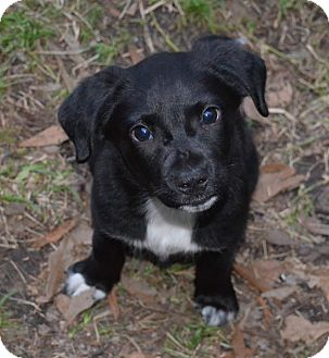Labrador Retriever/Australian Shepherd Mix Puppy for adoption in Metairie, Louisiana - Gigi
