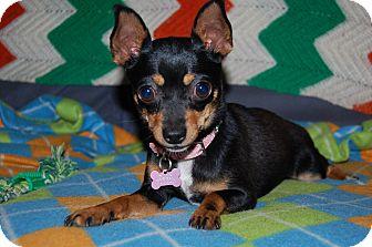 Chihuahua Dog for adoption in Charlotte, North Carolina - June Bug