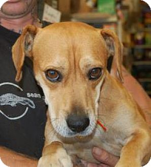 Beagle Mix Dog for adoption in Brooklyn, New York - Tank