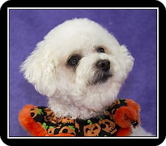 Poodle (Toy or Tea Cup)/Maltese Mix Dog for adoption in San Diego, California - Gidget