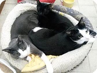 Domestic Shorthair Cat for adoption in Palmdale, California - Simon