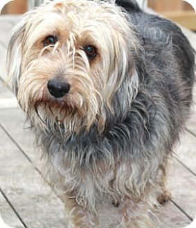 Yorkie, Yorkshire Terrier/Terrier (Unknown Type, Medium) Mix Dog for adoption in Norwalk, Connecticut - Wesley - adoption pending