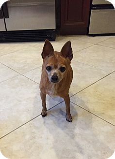 Chihuahua Mix Dog for adoption in Ocean Ridge, Florida - Dora