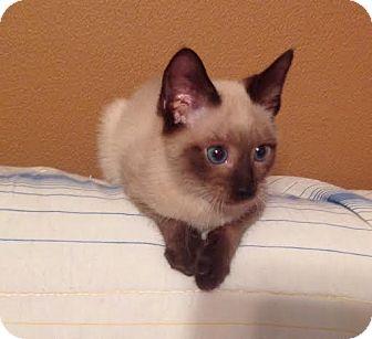 Siamese Kitten for adoption in Charlotte, North Carolina - A..  Talbot