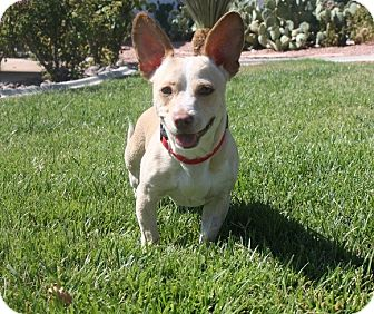 Corgi/Chihuahua Mix Dog for adoption in Henderson, Nevada - Roscoe