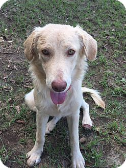 Golden Retriever/Labrador Retriever Mix Dog for adoption in Folsom, Louisiana - Peaches