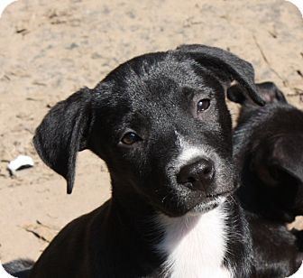 Labrador Retriever/Cattle Dog Mix Puppy for adoption in Marion, Arkansas - Bart-PENDING