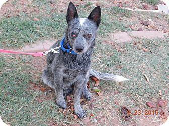 Australian Cattle Dog Dog for adoption in Phoenix, Arizona - Cherry